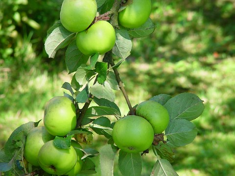 green_apples_sm1